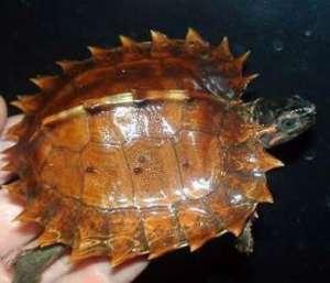 太阳龟怎么养?太阳龟的饲养方法